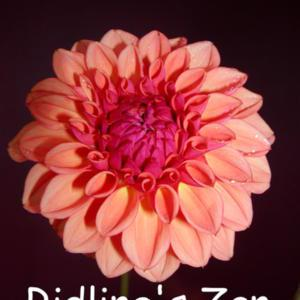 Photo was submitted by the originator of this dahlia.