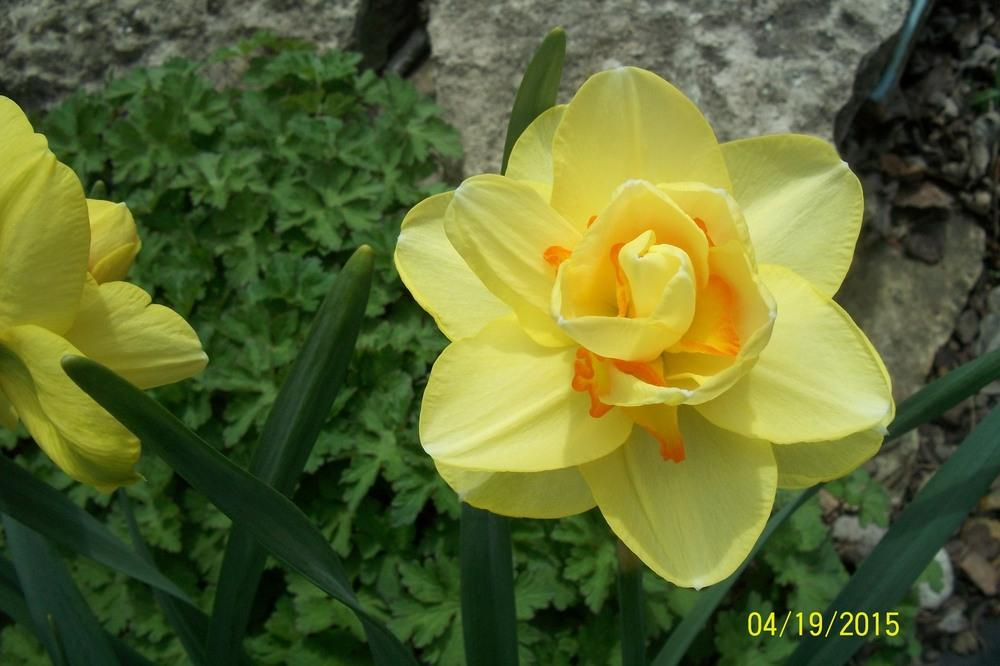 Photo of Daffodils (Narcissus) uploaded by Hazelcrestmikeb