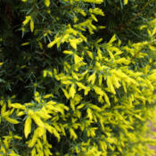 Location: Clinton, Michigan 49236Date: 2015-04-20Juniperus communis 'Gold Cone'