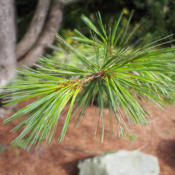Location: Clinton, Michigan 49236Date: 2015-04-20Pinus flexilis 'Vanderwolf's Pyramid'