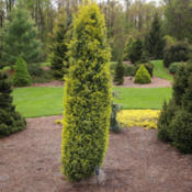 Location: Tipton, MichiganDate: 2015-04-20Juniperus communis 'Gold Cone'