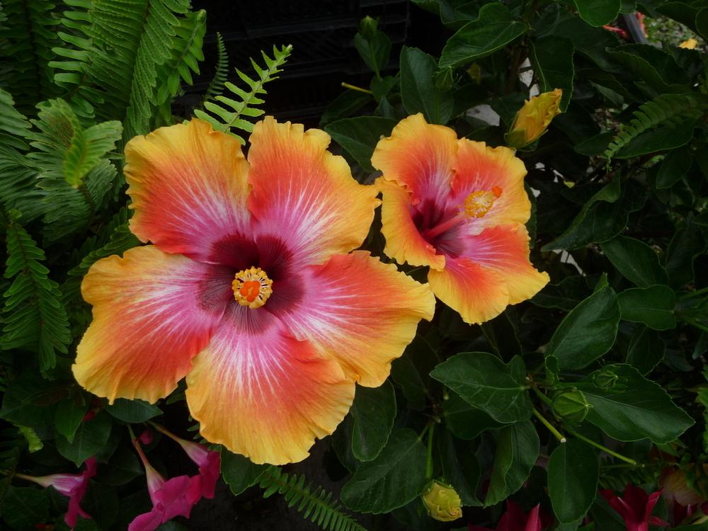 photo of the bloom of tropical hibiscus hibiscus rosa. Black Bedroom Furniture Sets. Home Design Ideas