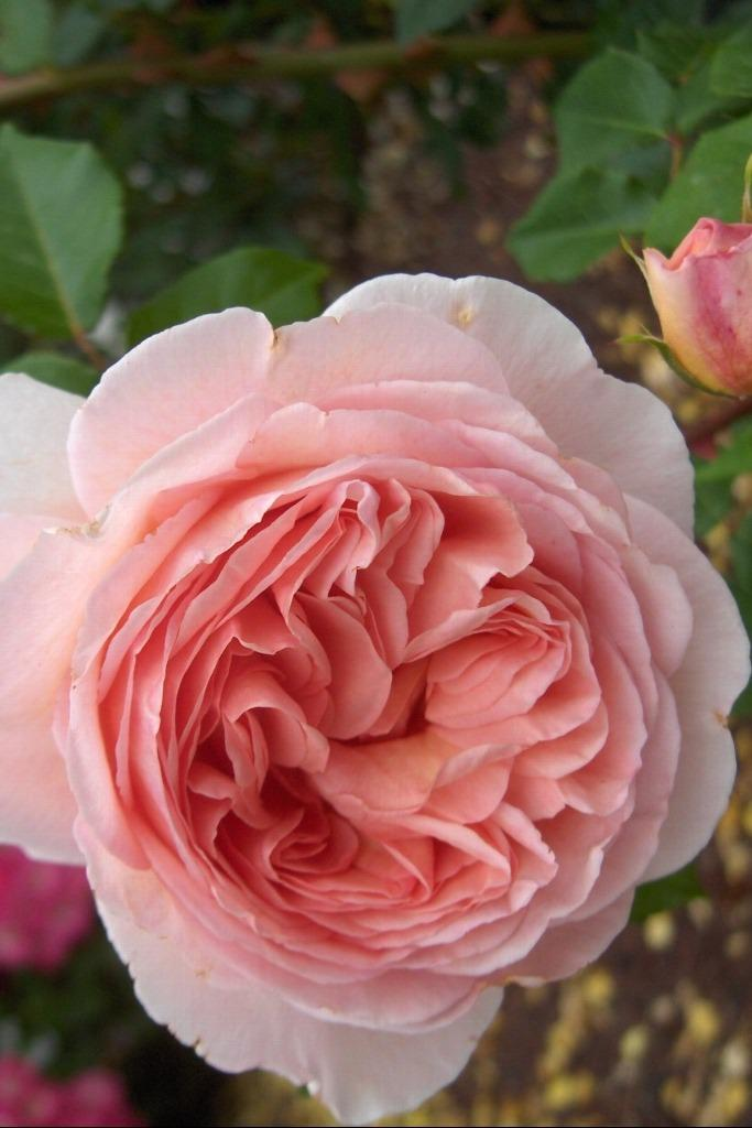 Photo of Rose (Rosa 'Abraham Darby') uploaded by admin