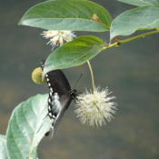 Location: Ripley, WVDate: 2010-07-18With Spicebush Swallowtail