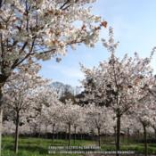 Location: The cherry orchard at Alnwick Garden, Northumberland, UKDate: 2015-04-23300+ specimens of this lovely tree in full bloom.