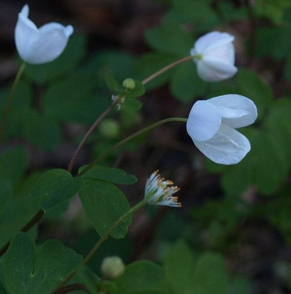 Photo of False Rue Anemone (Enemion biternatum) uploaded by plantrob