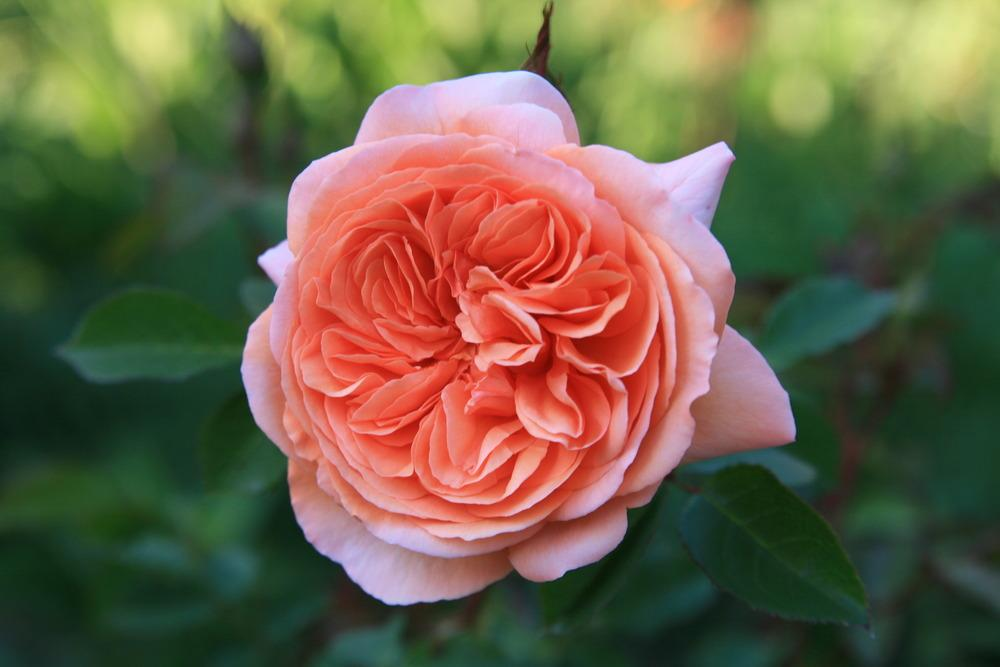 Photo of Rose (Rosa 'Louise Clements') uploaded by Calif_Sue