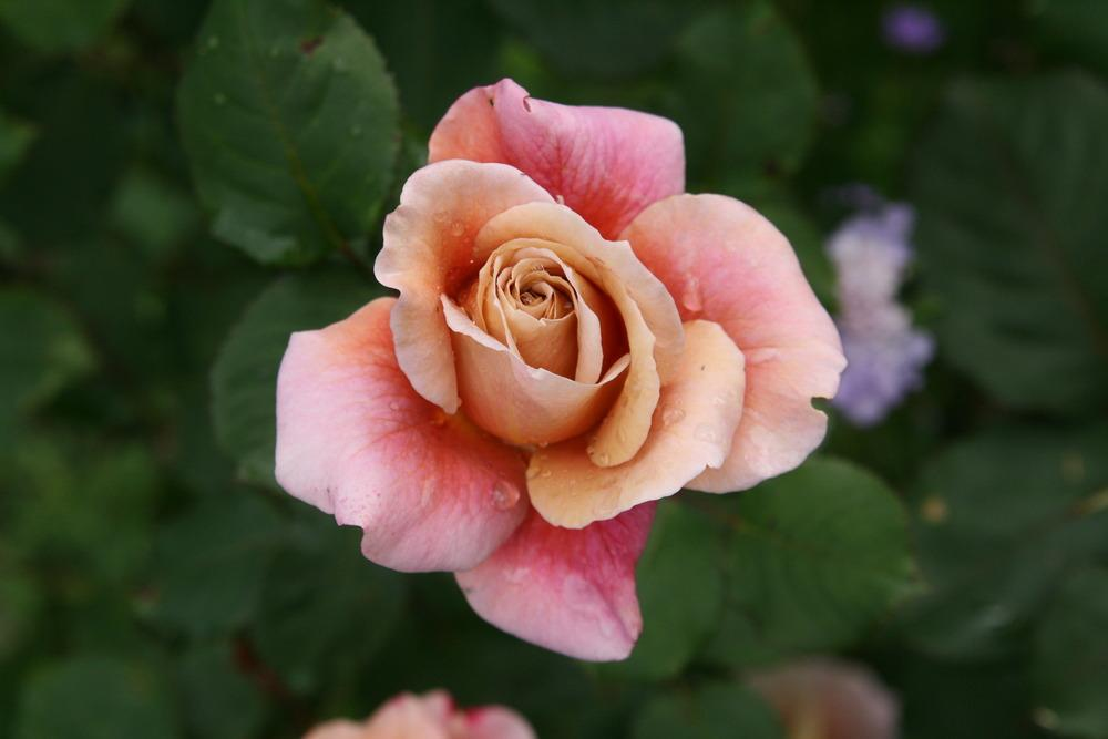 Photo of Rose (Rosa 'Distant Drums') uploaded by Calif_Sue