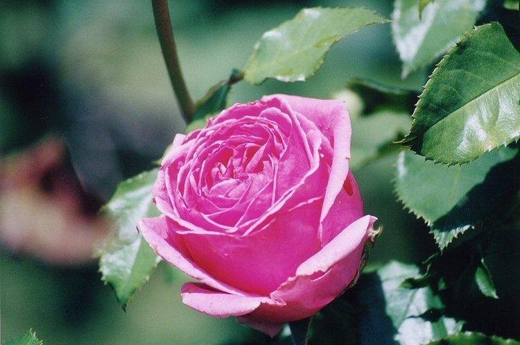 Photo of Rose (Rosa 'Auguste Renoir') uploaded by admin