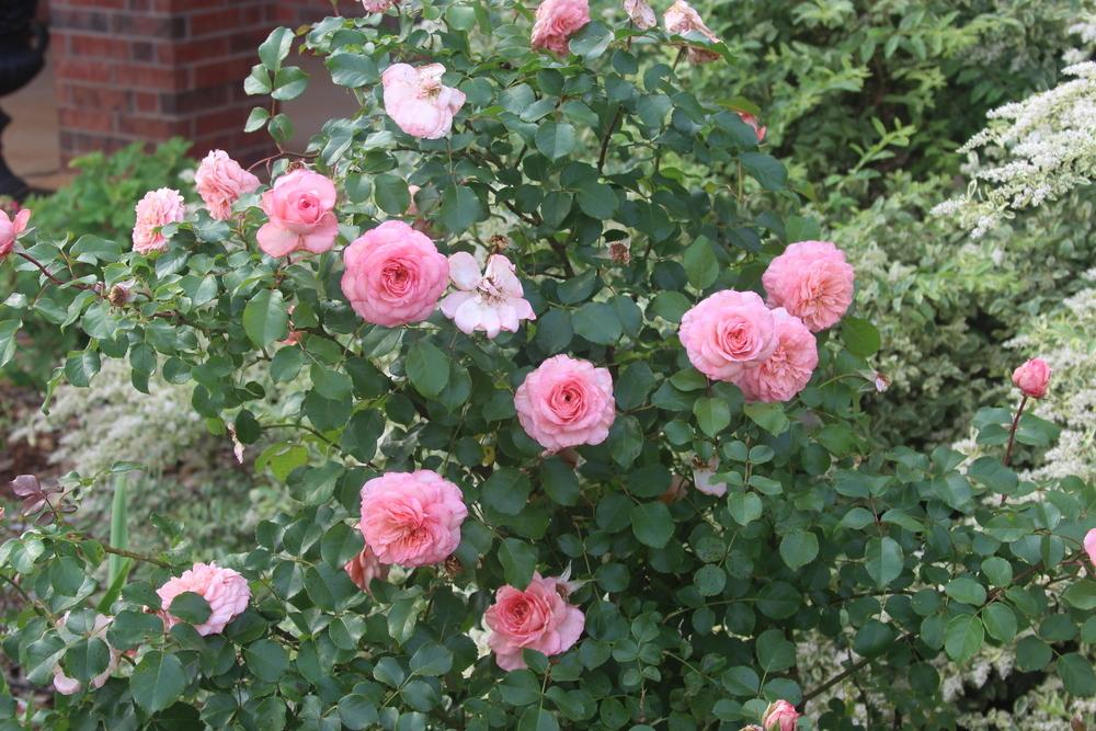 Photo of Rose (Rosa 'Savannah') uploaded by dave