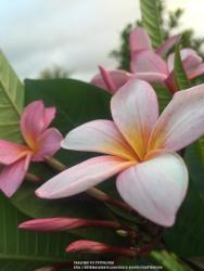 Thumb of 2015-04-26/GigiPlumeria/67f455