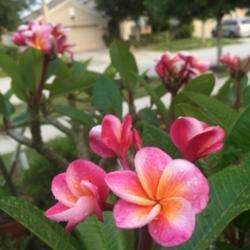 Thumb of 2015-04-26/GigiPlumeria/d6a2c2