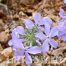 Photo of Woodland Phlox (Phlox divaricata subsp. laphamii) uploaded by Joy