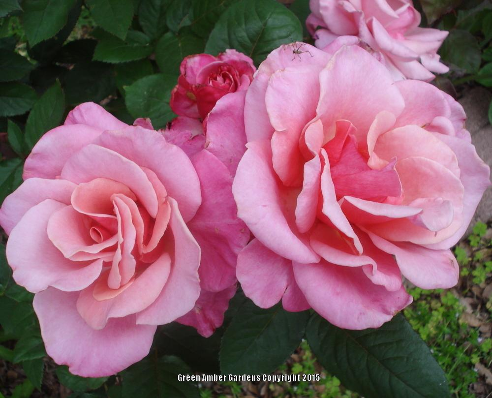 Photo of Roses (Rosa) uploaded by lovemyhouse