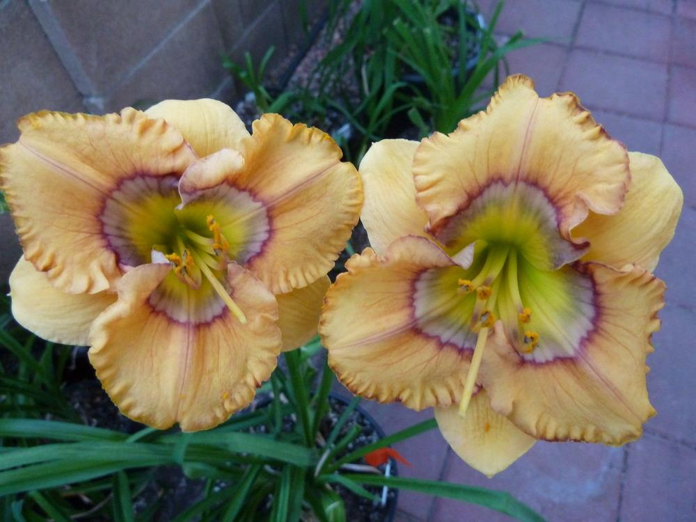 Photo of Daylily (Hemerocallis 'Curious Cutie') uploaded by lyle627