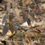 Location: Allentown, PennsylvaniaDate: 2015-04-26maroonish leaves in early spring
