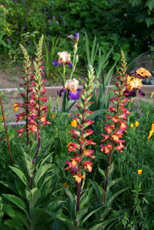 Photo of Foxglove (Digitalis Digiplexis® Illumination Flame) uploaded by Calif_Sue