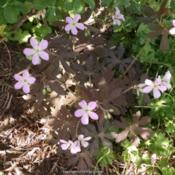 Location: MarylandDate: 2015-04-29Chocolate color leaves with pale lavender/blue flowers