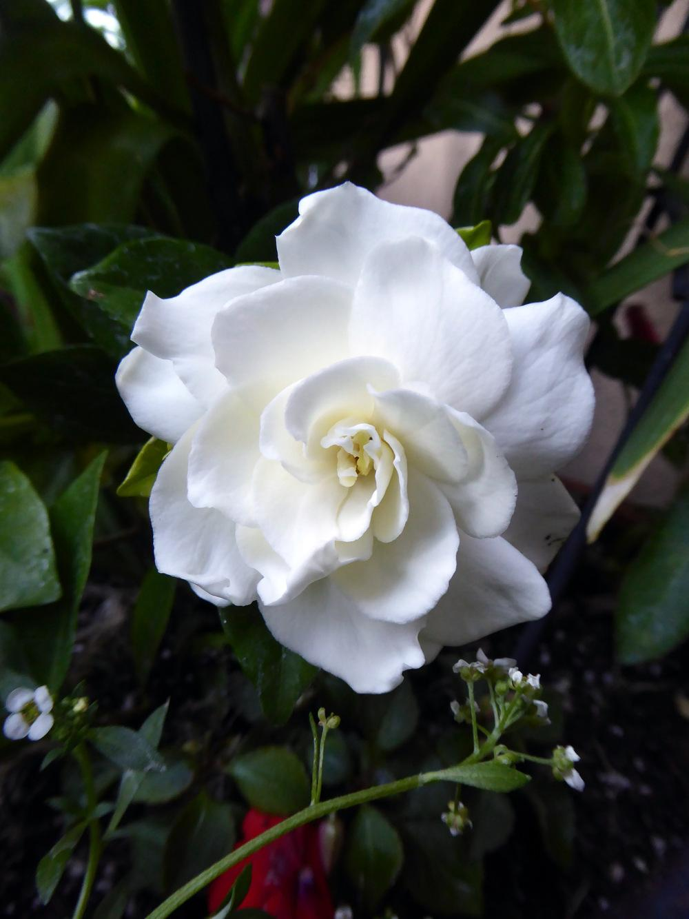 Photo of Gardenia (Gardenia jasminoides) uploaded by JulieB
