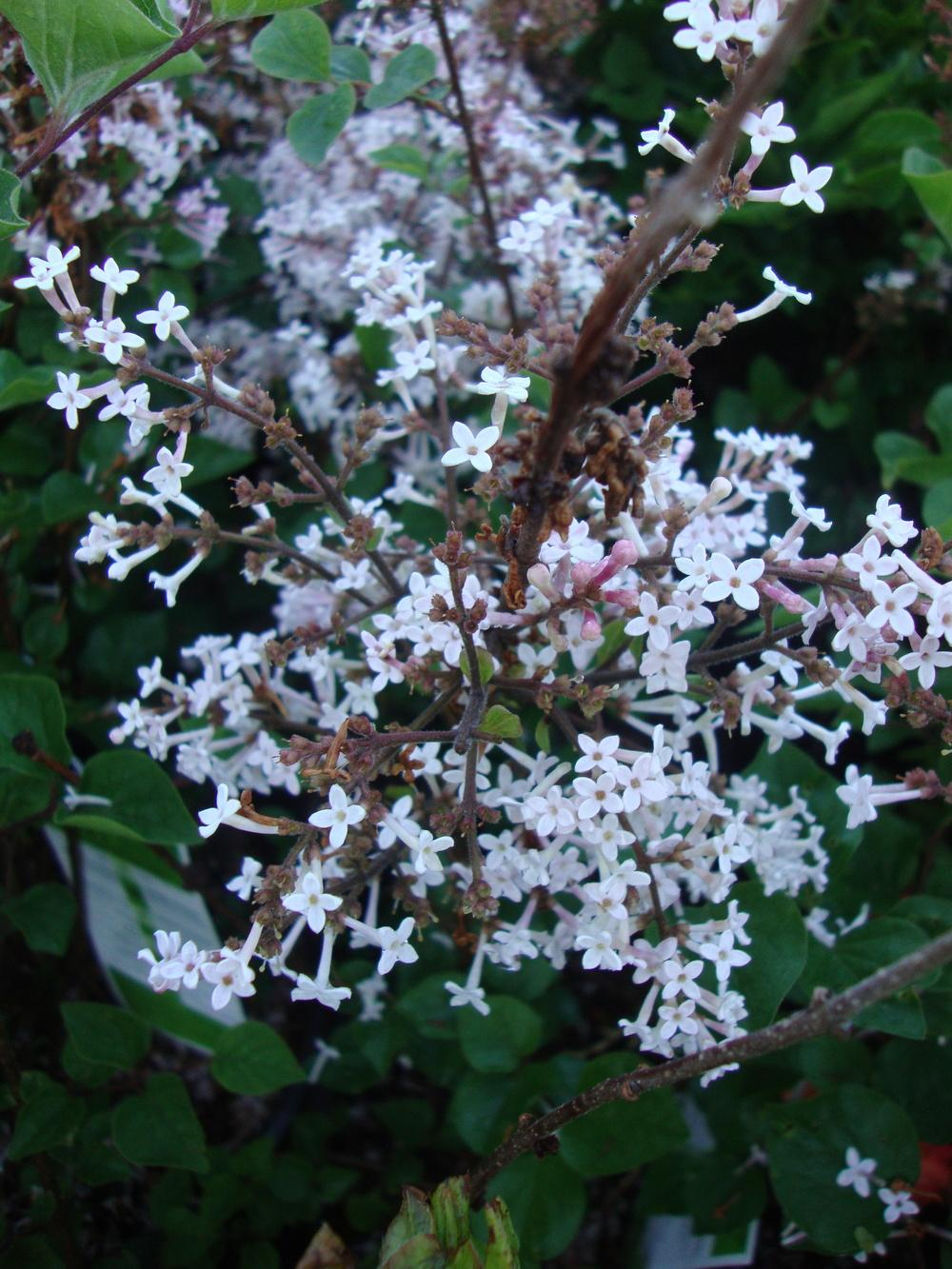 Photo of Dwarf Lilac (Syringa Josee™) uploaded by Paul2032