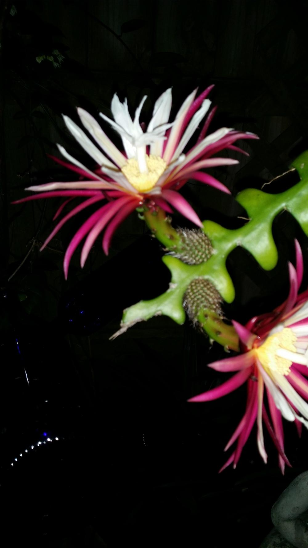 Photo of Ric Rac Orchid Cactus (Selenicereus anthonyanus) uploaded by orchidgal