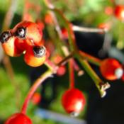 triple rose hip