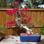 Location: Sarasota, FLDate: 2015-04-30Bonsai exhibit at Selby Gardens