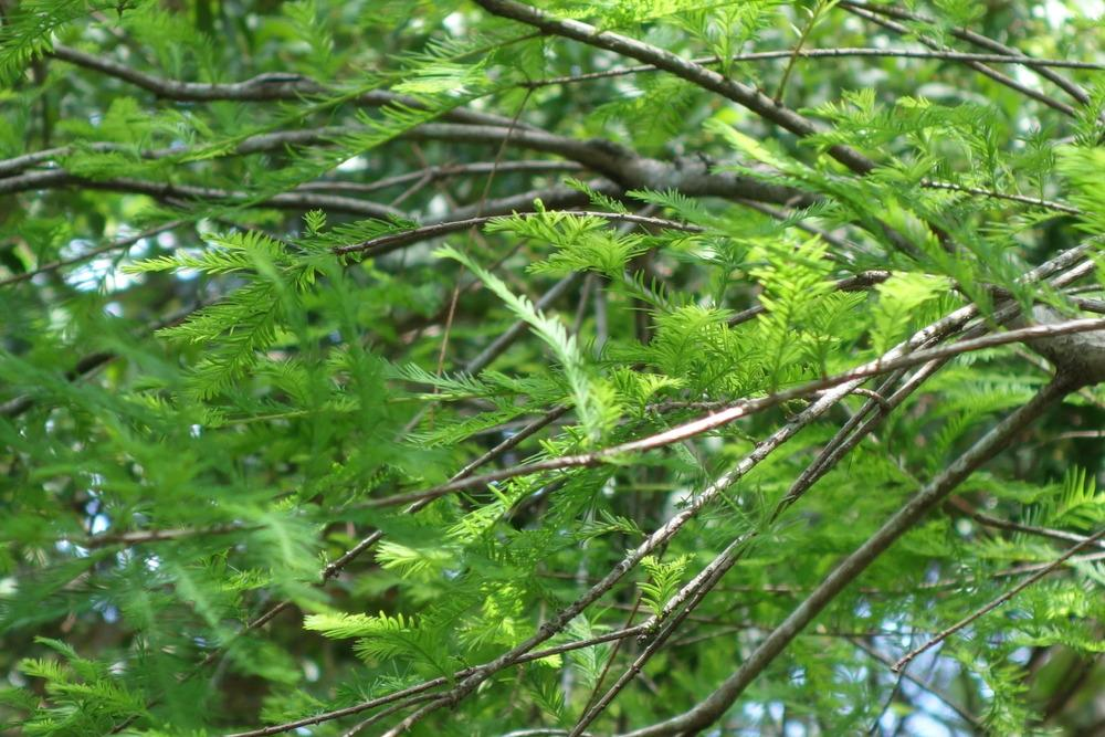 Photo of Bald Cypress (Taxodium distichum) uploaded by mellielong