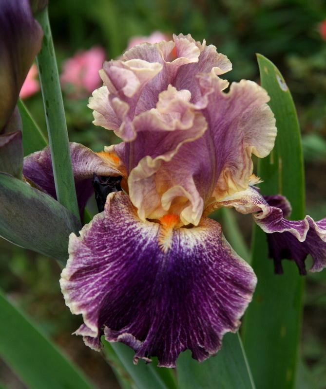 Photo of Tall Bearded Iris (Iris 'Entangled') uploaded by Calif_Sue