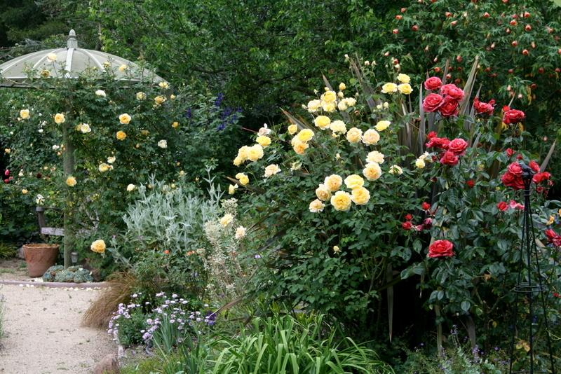 Roses Forum May 2015 Photos And Chat Garden Org