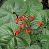 Location: Paraty, BrazilDate: 2014-12-20Cultivated, not native to Brazil.