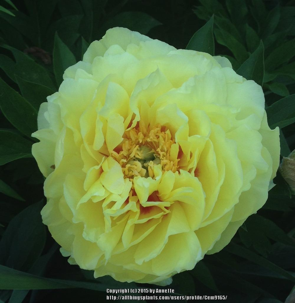Photo of Intersectional Peony (Paeonia 'Bartzella') uploaded by Cem9165