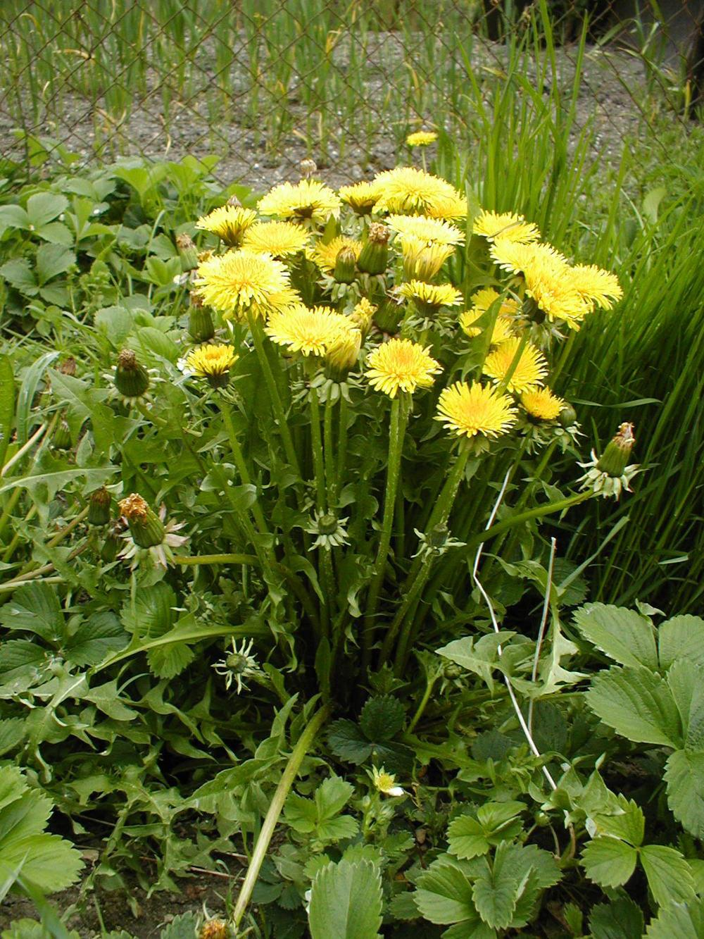 Photo of Dandelion (Taraxacum officinale) uploaded by admin