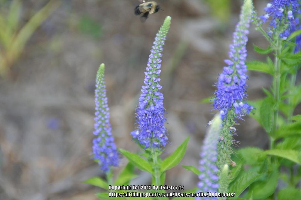 Photo of Speedwell (Veronica 'Sunny Border Blue') uploaded by debsroots