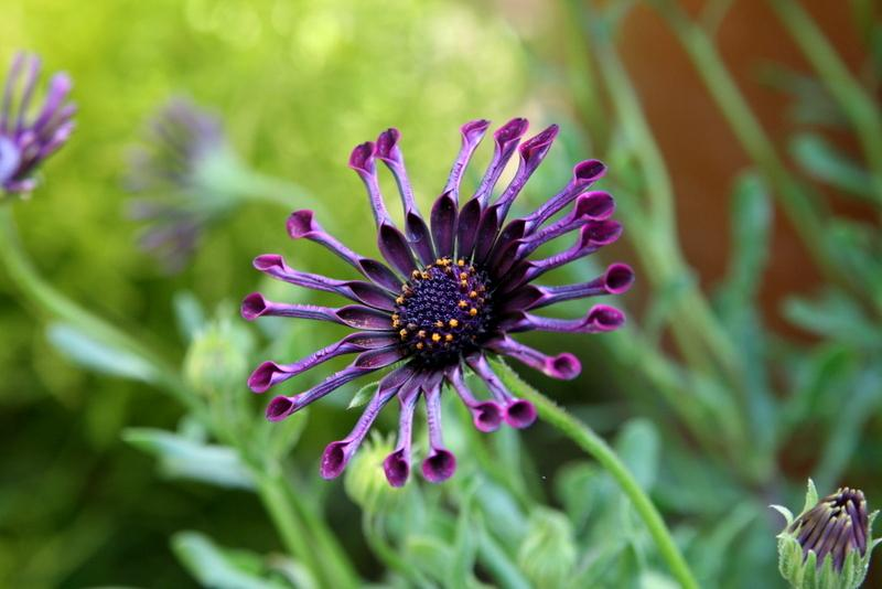 Photo of African Daisy (Osteospermum ecklonis Deluxe FlowerPower® Spider Purple) uploaded by Calif_Sue