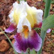 Location: My garden in Northwest ArkansasDate: 05/06/2015First bloom