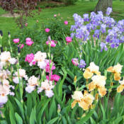 Location: My GardensDate: May, 2011Irises In The Landscape