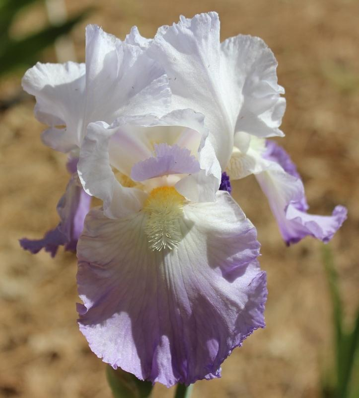 Photo of Tall Bearded Iris (Iris 'Favorite Topic') uploaded by Calif_Sue
