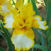 Photo courtesy of Bluebird Haven Iris Garden