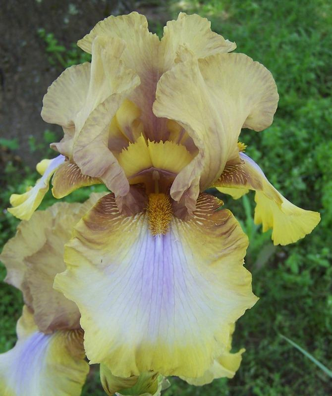 Photo of Tall Bearded Iris (Iris 'Fiesta Song') uploaded by Calif_Sue