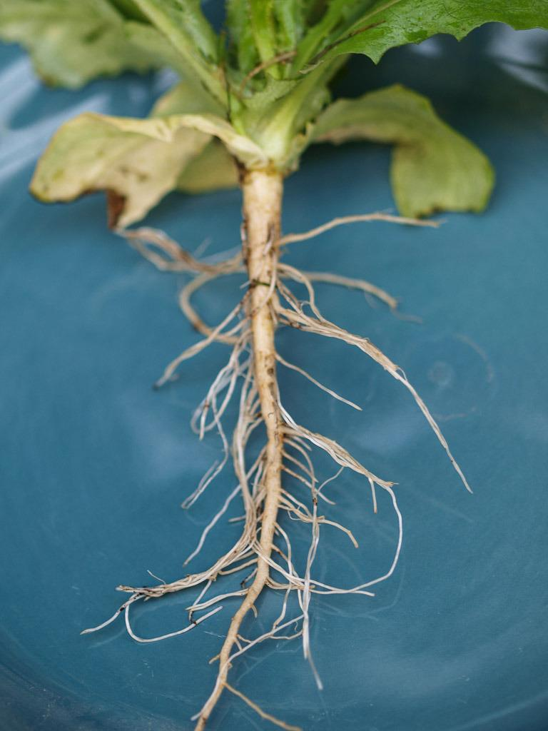 Photo of the roots of Prickly Lettuce (Lactuca serriola ...  Photo of the ro...