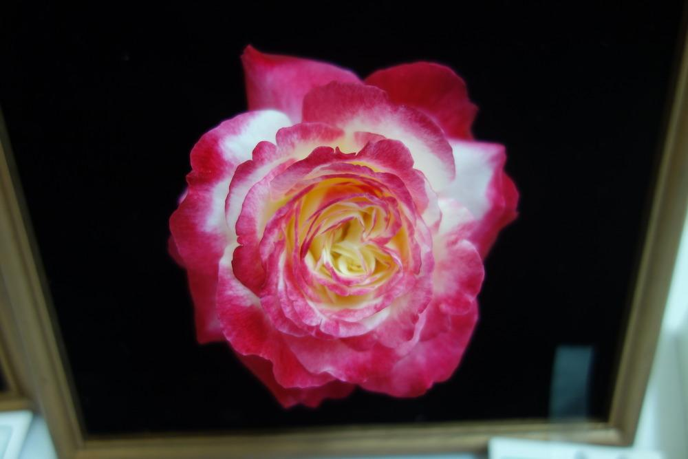 Photo of Rose (Rosa 'Double Delight') uploaded by mellielong