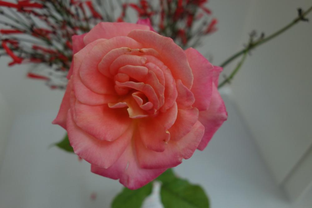 Photo of Rose (Rosa 'Granada') uploaded by mellielong