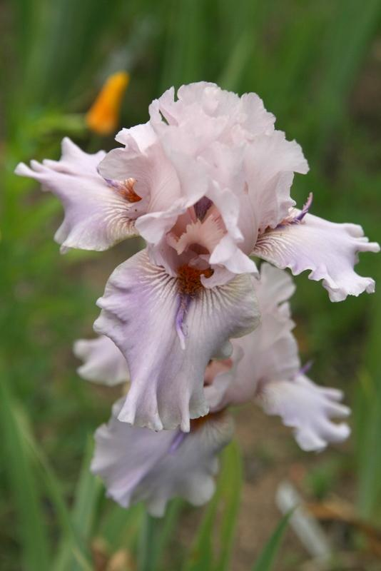 Photo of Tall Bearded Iris (Iris 'Awesome Alex') uploaded by Calif_Sue