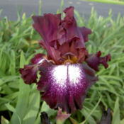 Location: Western KentuckyDate: May 2015This Iris shines in the garden, and beckons close inspe