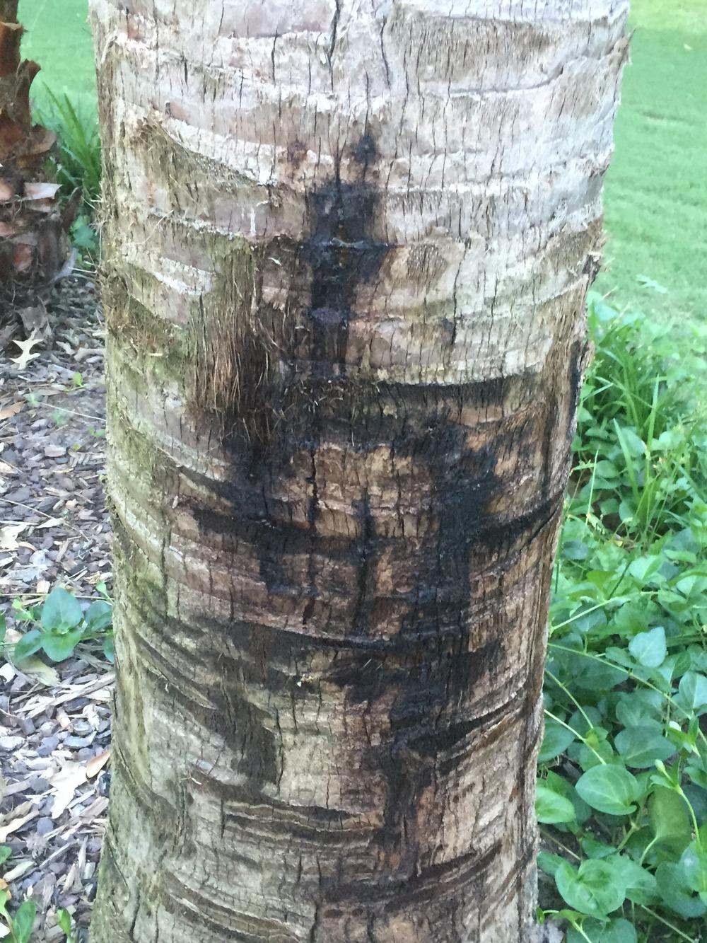 Trees And Shrubs Forum  Texas Sable Palm Black Spots On Trunk