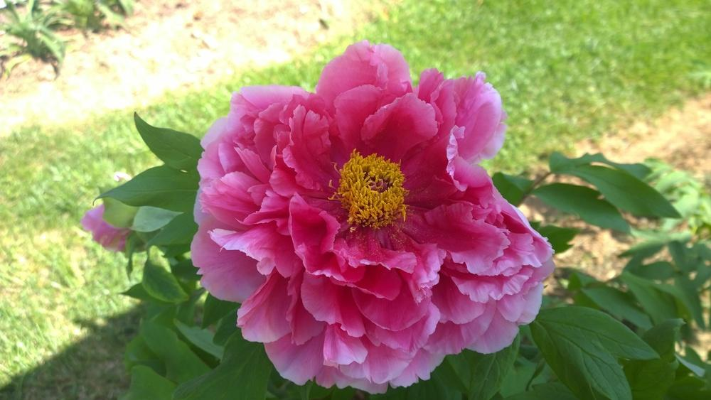 Photo of Japanese Tree Peony (Paeonia x suffruticosa 'Shimadaijin') uploaded by huang049