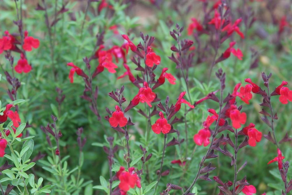 Picture of Live Furman's Red Autumn Sage aka Salvia g. 'Furman Red' Perennial Plant Fit 5 Gallon Pot
