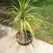Location: Claremont, CaDate: May 13, 2015Grown in a shallow pot, the fronds tend to stick up and out at cr