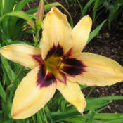 Location: My garden in Lenore, IDDate: 5-13-2015First bloom of the year out of all my daylilies! Much e